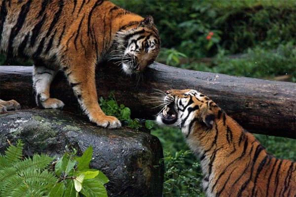 Harimau di Taman Safari Bogor Jawa Barat