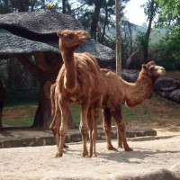 Satwa Camel di Taman Safari Bogor Jawa Barat